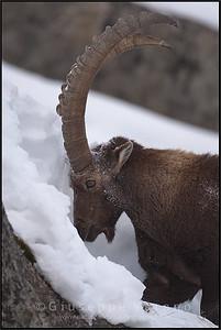 Stambecco - Ibex ( Capra ibex )  Valle Orco - Gran Paradiso National Park - Italy  Giuseppe Varano - Nature and Wildlife