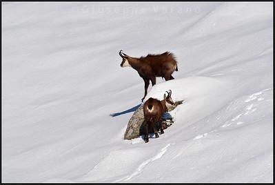 Camoscio alpino - Chamois ( Rupicapra rupicapra )   Valle Orco - Gran Paradiso National Park - Italy  Giuseppe Varano - Nature and Wildlife Images - Birds and Nature Photography