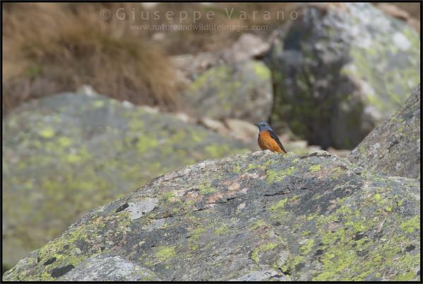 Rock Thrush - Codirossone ( Monticola saxatilis )
