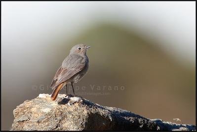 ( Common ) Redstart - Codirosso comune ( Phoenicurus phoenicurus )