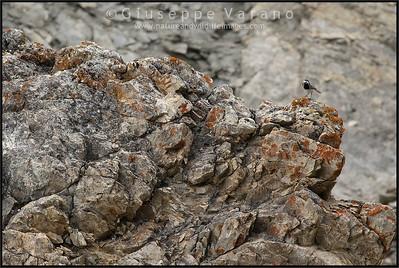 Pied Wagtais - Ballerina Bianca ( Motacilla alba ) - Valnontey - Gran Paradiso National Park