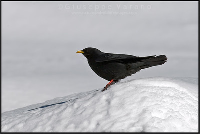 Alpine Chough - Gracchio alpino ( Pyrrhocorax graculus )