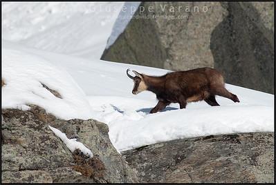 Camoscio alpino - Chamois ( Rupicapra rupicapra )   Valle Orco - Gran Paradiso National Park - Italy