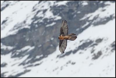 Gipeto - Lammergeier ( Gypaetus barbatus )  Val di Rhêmes - Gran Paradiso National Park