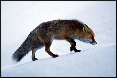 Volpe - Red Fox ( Vulpes vulpes )  Valsavarenche - Gran Paradiso National Park - Italy  Giuseppe Varano - Nature and Wildlife Images - Birds and Nature Photography