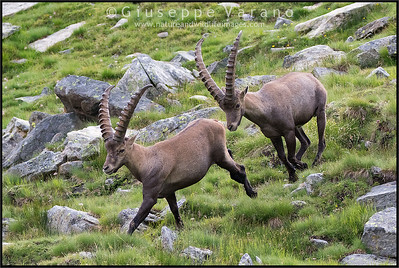 Stambecco - Ibex ( Capra ibex )  Valnontey - Gran Paradiso National Park - Italy  Giuseppe Varano - Nature and Wildlife