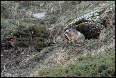 Alpine Marmot - Marmotta ( Marmota marmota )  Valle Orco - Gran Paradiso National Park - Italy