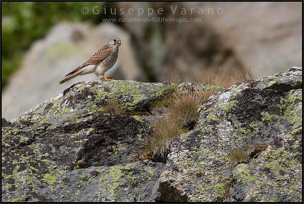 ( Common ) Kestrel - Gheppio - Falco tinnunculus  Valle Orco - Gran Paradiso National Park - Italy
