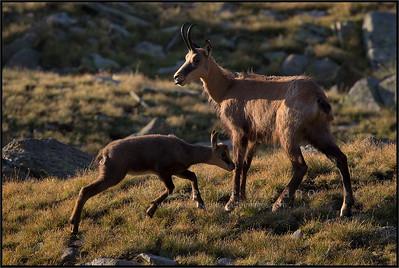 Camoscio alpino - Chamois ( Rupicapra rupicapra )   Valnontey - Gran Paradiso National Park - Italy