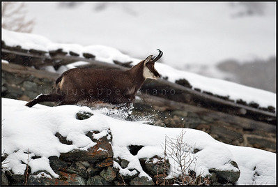 Camoscio alpino - Chamois ( Rupicapra rupicapra )    Valsavarenche - Gran Paradiso National Park - Italy