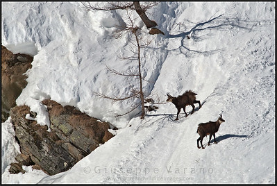Camoscio alpino - Chamois ( Rupicapra rupicapra )   Valnontey - Gran Paradiso National Park - Italy  Giuseppe Varano - Nature and Wildlife Images - Birds and Nature Photography
