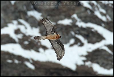 Gipeto - Lammergeier ( Gypaetus barbatus )  Val di Rhêmes - Gran Paradiso National Park  Giuseppe Varano - Nature and Wildlife Images - Birds and Nature Photography