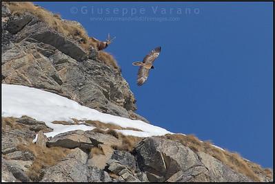 Gipeto - Lammergeier ( Gypaetus barbatus ) & Stambecco - Ibex ( Capra ibex )  Valle Orco - Gran Paradiso National Park - Italy