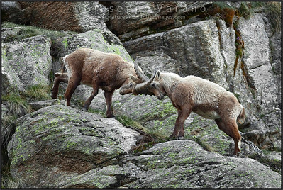 Stambecchi - Ibex ( Capra ibex )  Valle Orco - Gran Paradiso National Park - Italy  Giuseppe Varano - Nature and Wildlife Images - Birds and Nature Photography