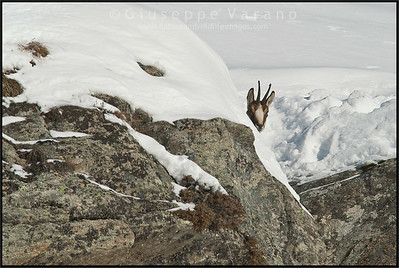 Camoscio alpino - Chamois ( Rupicapra rupicapra )   Valle Orco - Gran Paradiso National Park - Italy  Giuseppe Varano - Nature and Wildlife Images - Birds and Nature Photography