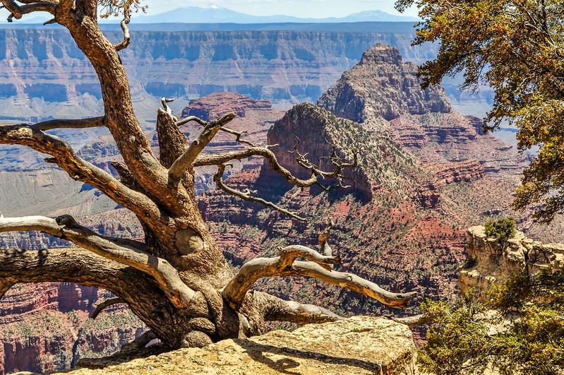 Tree Skeleton on the Canon Rim