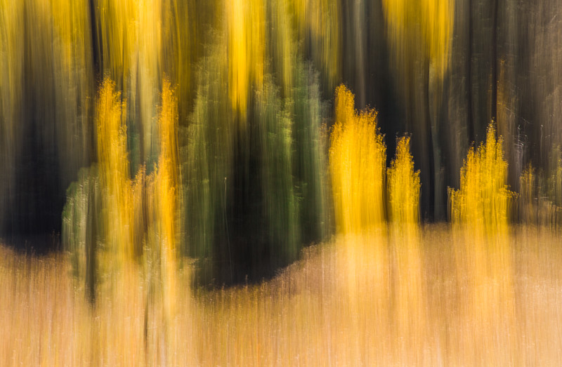 'Aspen and Pines', fall colors, ICM abstract. North Rim, Grand Canyon, AZ