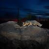 Gray fox near Marana, AZ