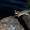 Gray fox near Marana, AZ