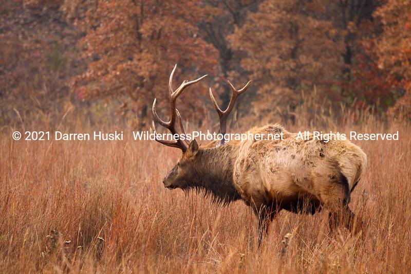 Elk in the Wichita Mountains.