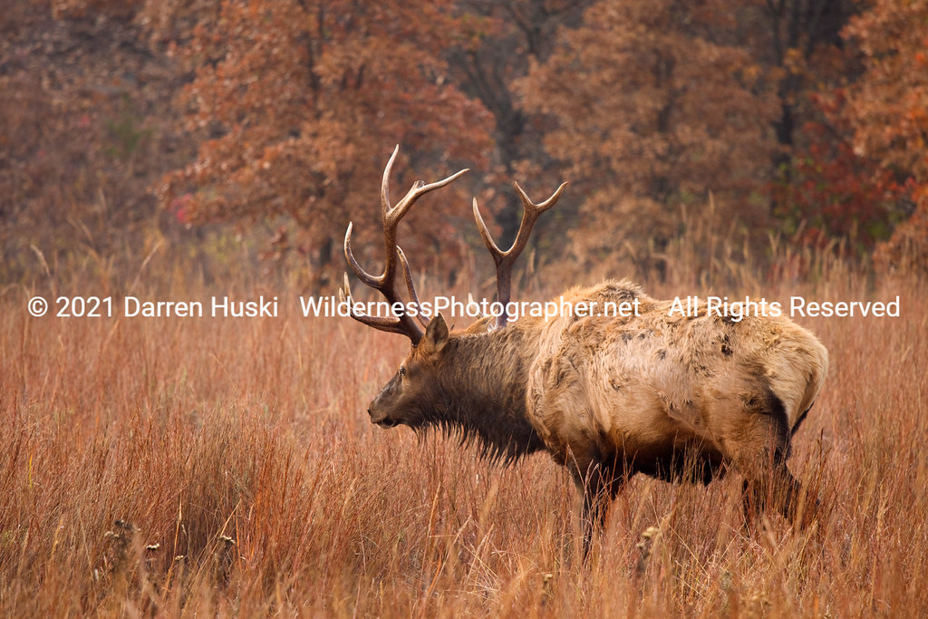 Elk in the Wichita Mountains.