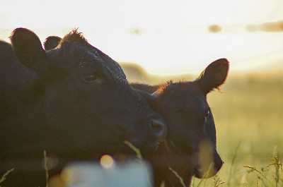 A cow and her calf are soaked in morning dew on a humid summer morning in Kansas.