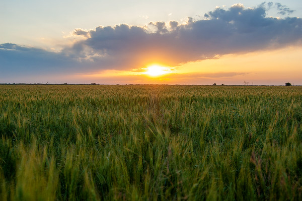 A colorful sunset over a wheat field in Kansas.