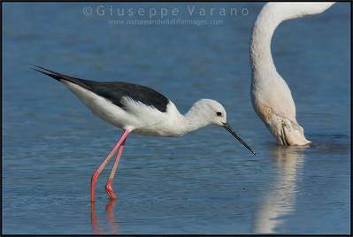 Greater Flamingo - Fenicottero ( Phoenicopterus roseus ) & Black-winged Stilt - Cavaliere d'Italia ( Himantopus himantopus )