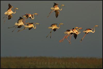 Greater Flamingo - Fenicottero ( Phoenicopterus roseus )