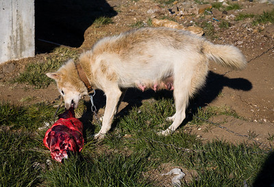 A female sled dog receiving the once-a-week summer ration of 5 kilograms of seal meat.
