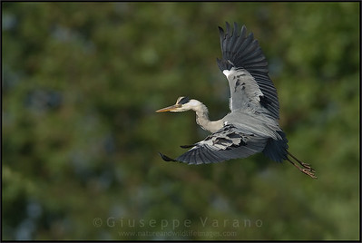 Grey Heron - Airone cenerino ( Ardea cinerea )  Parco Oglio Sud ( Mn ) - Italy  Giuseppe Varano - Nature and Wildlife Images