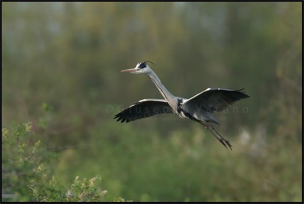 Grey Heron - Airone cenerino ( Ardea cinerea )  Parco Oglio Sud ( Mn ) - Italy  Giuseppe Varano - Nature and Wildlife Images