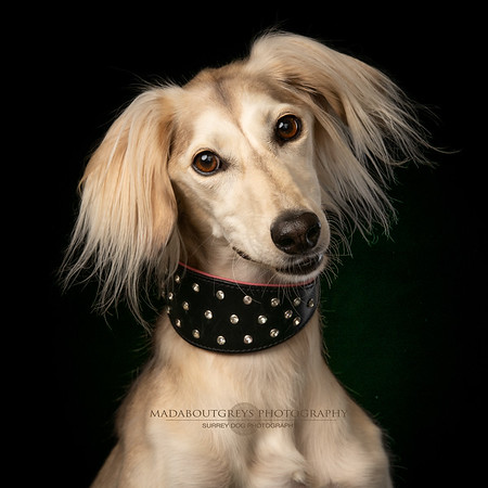 Surrey dog photographer madaboutgreys