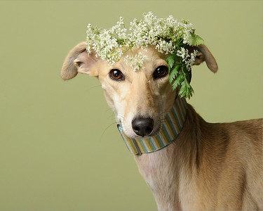 Portrait of a whippets decked in spring flowers