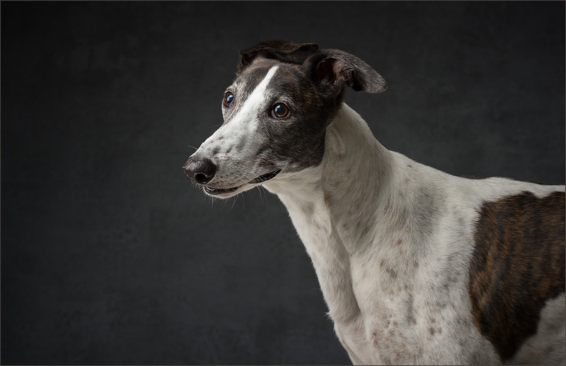 greyhound studio photograph