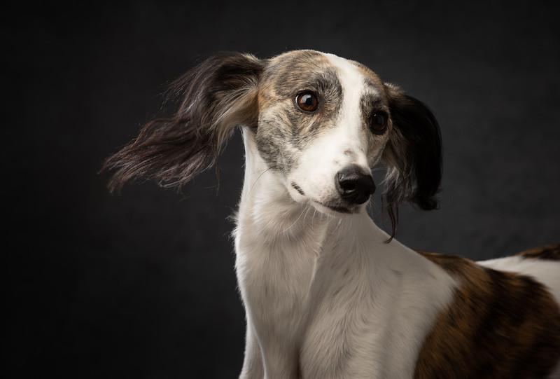 Saluki portrait by London dog photographer madaboutgreys