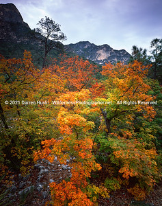 Maples of autumn hidden in the desert.  Tucked away in a few remote desert canyons is the most vivid color this side of Vermont.  McKittrick Canyon-Guadalupe Mountains National Park, Texas.