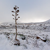 Yucca in the Snow of west Texas