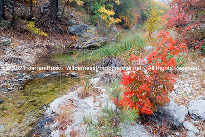 A young maple grows streamside in McKittrick Canyon.