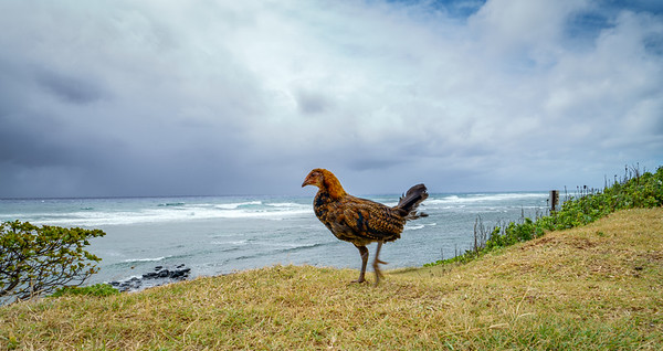Wild Chicken | Kauai, Hawaii