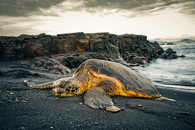 Sea Turtle | Punalu'u Black Sand Beach, Big Island, HI
