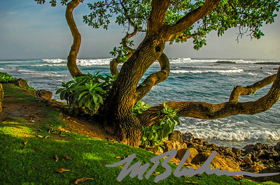Hua Tree at Turtle Bay