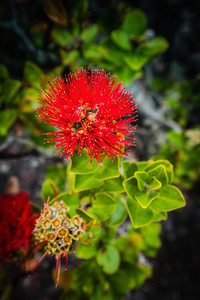 ʻŌhiʻa lehua | Volcanoes National Park, Hawaii