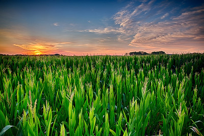 Corn Field Sunrise