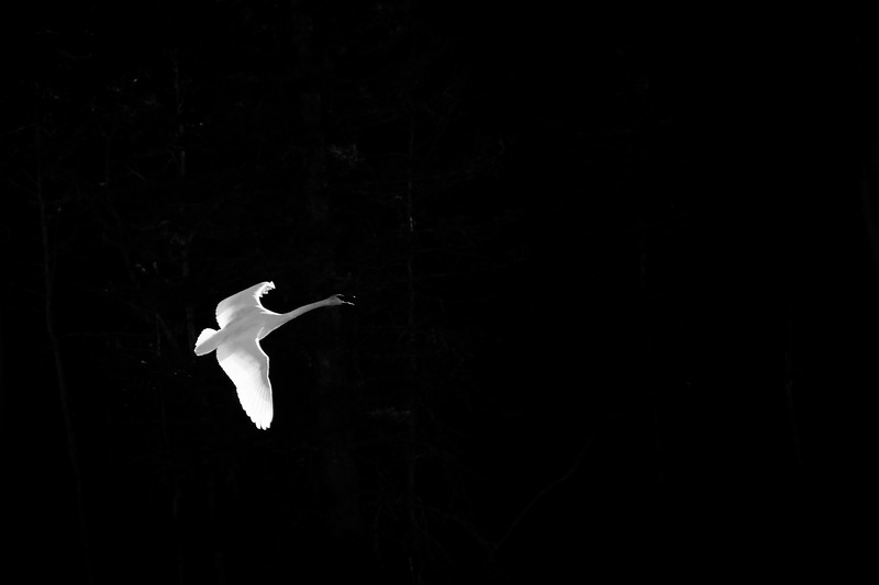Trumpeter swan, Cygnus buccinator, flies in front of a dark forest at Beauvais Provincial Park, Alberta, Canada.