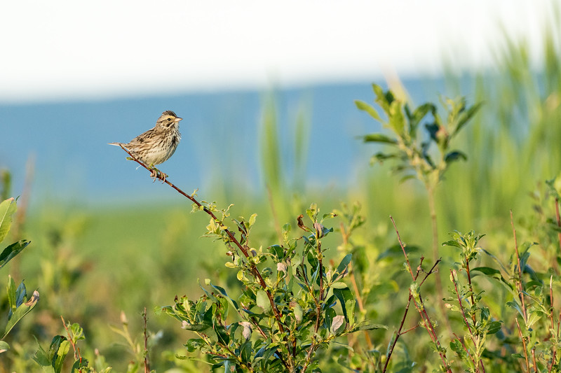 Savannah sparrow, Passerculus sandwichensis, with food near Dawson Creek, British Columbia, Canada.