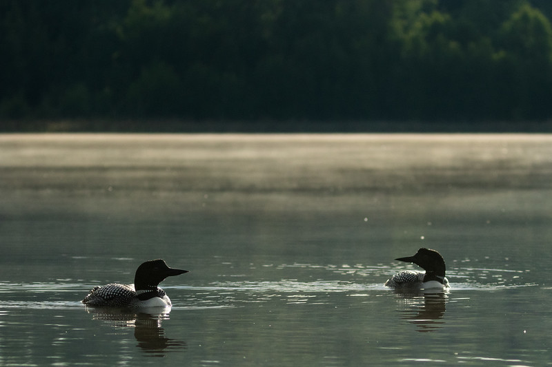 Common loons, Gavia immer, near Stony Plain, Alberta, Canada.