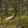 Mule deer, Odocoileus hemionus, in Jasper National Park, Alberta, Canada.