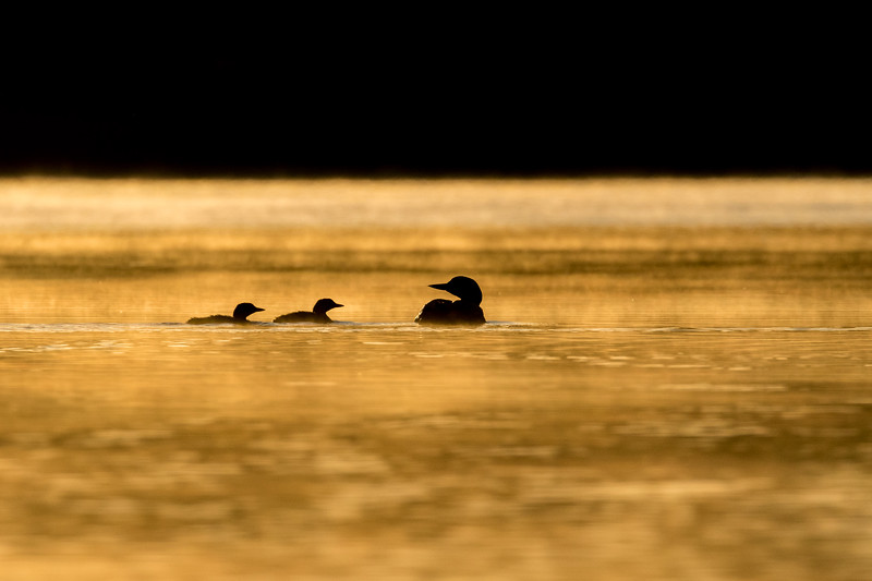 Common loon, Gavia immer, family at sunrise near Stony Plain, Alberta, Canada.