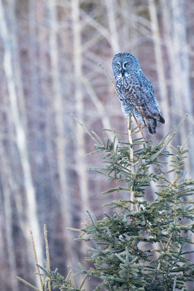 Great grey owl, Strix nebulosa, perched near Drayton Valley, Alberta, Canada.